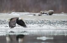 Bald Eagle?(Haliaeetus?leucocephalus)?flying Above River