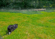 A Flock Of Tame Sheep Being Herded By A Border Collie Dog.