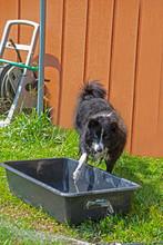 A Border Collie Tests Bath Wat...