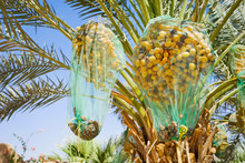 Date Palm Tree With Nets Cover...