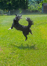A Border Collie Likes To Jump In A Water Hose Stream.