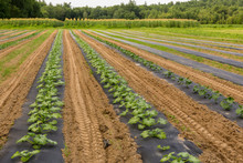Zuchinni Plants On A Vegetable Farm In Epping, New Hampshire.