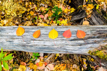 Colorful Leaves Of Big Tooth Aspen Lying On Tree Trunk