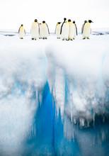 Emperor Penguins (Aptenodytes ...