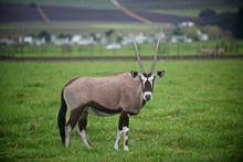 An Oryx Stands In Stellenbosch, South Africa