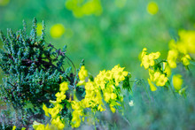 Bright Spring Flowering Of Yellow Flowers. A Typical Spring Phenomenon On The Shores Of The Mediterranean Sea. The Plant Oxalis Is Known As The Wood Sorrels, Woodsorrels Or Wood-sorrel.