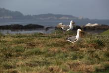 Seagulls Gathering Nesting Mat...