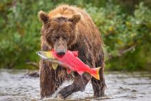 Brown Bear With Salmon, Alaska, USA