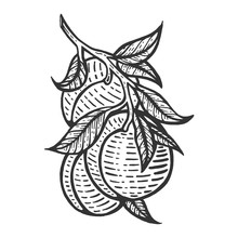 Peach Fruit Plant Tree Branch Sketch Engraving Vector Illustration. Scratch Board Style Imitation. Hand Drawn Image.