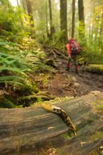Banana Slug And Hiker On West Coast Trail, British Columbia, Canada