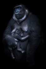 Female Gorilla With Young