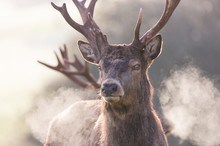Portrait Of Red Deer In Cold Weather