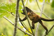 Female Howler Monkey With Infa...