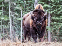 North American Bison.