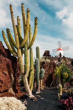Cactus Garden And Windmill, Lanzarote, Canary Islands, Spain