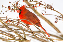 Northern Cardinal (Cardinalis Cardinalis) Bird Perching On Twig