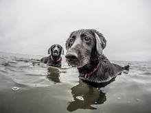 Two Dogs Play In The Water.