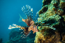 Lion Fish In The Red Sea Color...