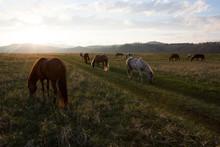 Mongolian Horses Graze In The ...