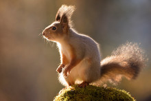 Close-up Of Red Squirrel Stand...