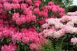 Leinwanddruck Bild - Rhododendronblüte (pink-rosa) auf der Insel Mainau