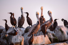 Brown Pelicans Sit Amongst Cormorants At Sunset On A Jetty.
