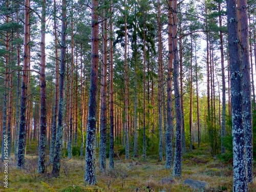 Fototapeten Wald Fichtenwald Schweden