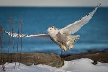 Snowy Owl (Bubo Scandiacus) Flying Against Sea