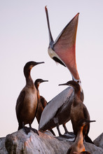 Brown Pelican With Cormorants On Rocks