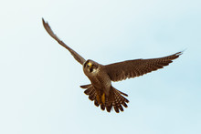 A Peregrine Falcon Flies With Wings Spread Directly Towards The Camera.