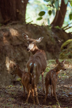 A Doe Looks Back Over Her Shoulder With Two Fawns In The Forest.