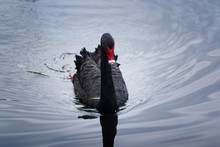 One Black Young Swan Swimming  On The Lake With Water Texture
