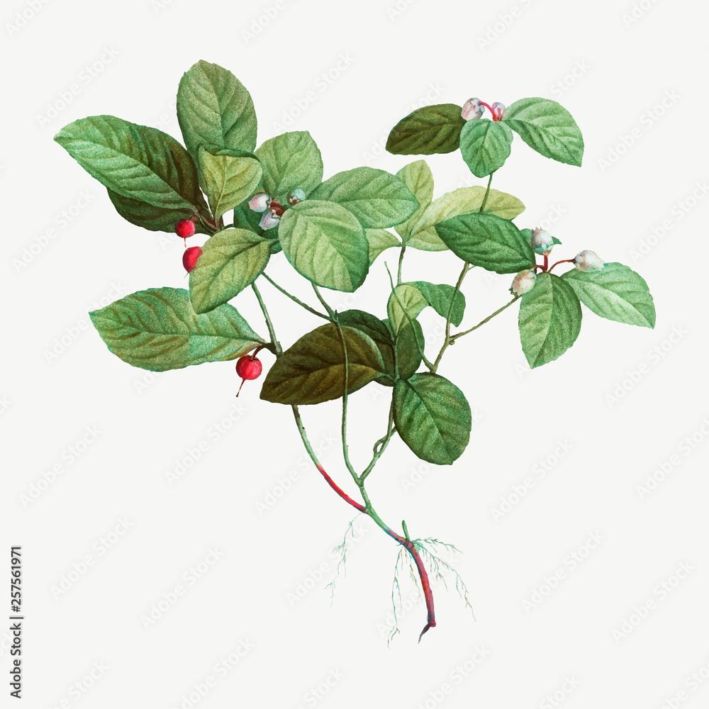 Fototapety, obrazy: American Wintergreen plant