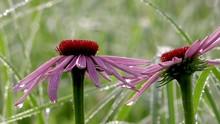 Purple Coneflowers Echinacea P...