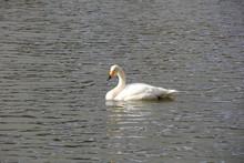 水上の白鳥(宮城県)