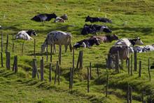 Vacas En Pasto Verde Boquete P...