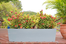 Red Spike Flower In Long Cement Pot In Garden Decoration. Rubiaceae Ixora Coccinea.