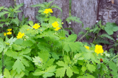 Photo Medicinal herb celandine (Chelidonium) blooms with yellow flowers against the background of a wooden fence in the summer