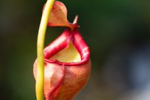 Close Up Of Nepenthes Also Called Tropical Pitcher Plants Or Monkey Cups In The Plant Nursery Garden Dangerous Plant For Insect.