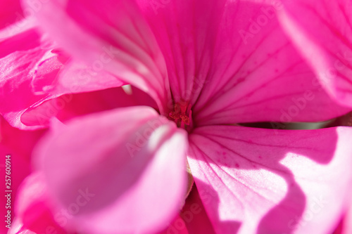 Spoed Fotobehang Roze Geranium flower macro close for background. Selective focus, for design, postcards.