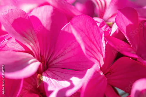 Spoed Fotobehang Roze Geranium flowers close-up on a colored background. Selective focus, for design, nature.