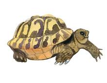 Tortoise Watercolor Illustration. Tortoise Isolated On White. Tortoise Big