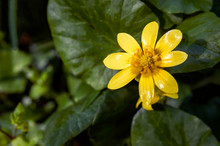 Yellow Ficaria Verna Flower Also Known As Ranunculus Ficaria, Lesser Celandine Or Pilewort, Growing In The Hills Or The Montefeltro Region Of Italy, Between Pesaro And Urbino