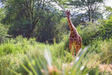 Fototapeta Sawanna - Giraffes between the acacia trees in the savannah of Kenya