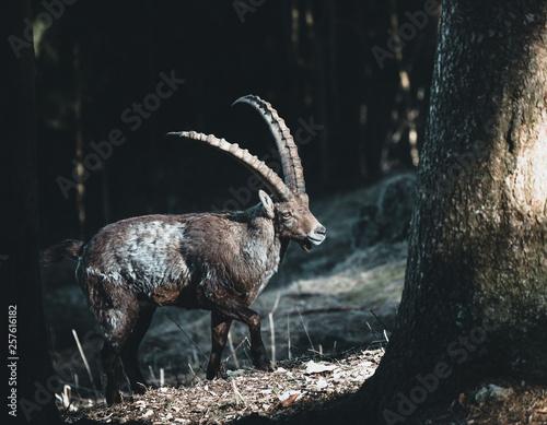 Leinwand Poster Amazing alpine ibex, in german called Alpensteinbock, in the austrian mountains