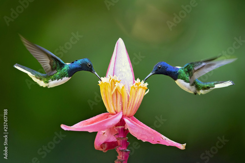 Fotografie, Obraz White-necked jacobin (Florisuga mellivora) is a large and attractive hummingbird that ranges from Mexico, south to Peru, Bolivia and south Brazil