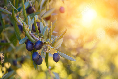 Foto op Plexiglas Olijfboom Olive trees farm. Olive branch with ripe fresh olives ready for harvest.