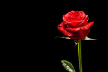 Beautiful Red Rose As Symbol Of Love Over Black Background