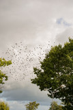 Stare Vogelschwarm versammeln sich um in den Süden zu fliegen - 257620382