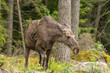 Irritated female moose with her ears back